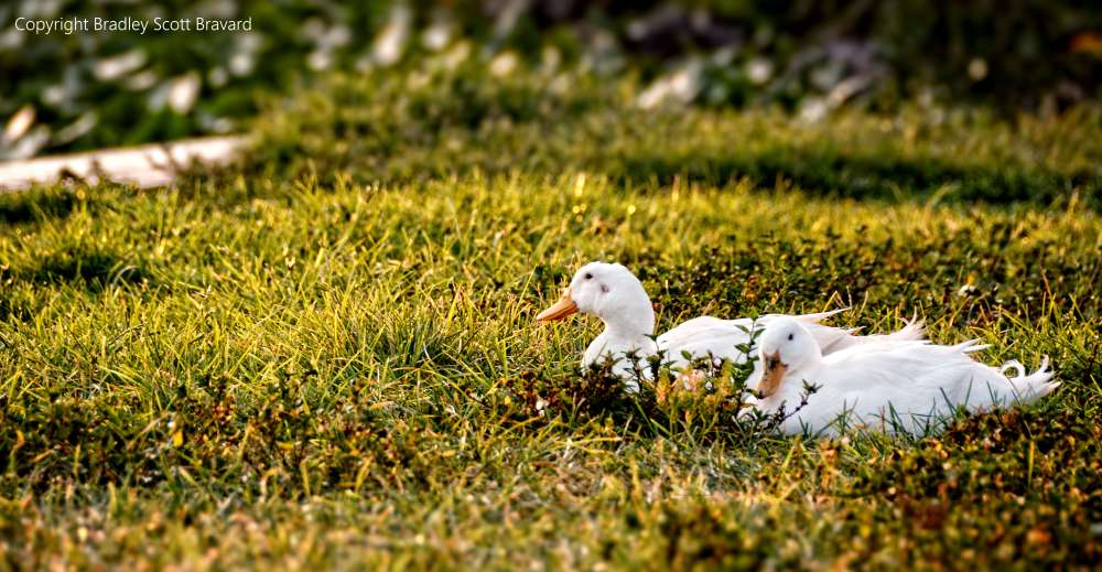 Two ducks resting in grass
