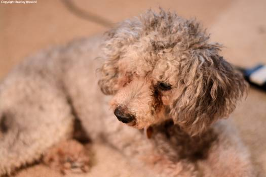Photo of gray miniature poodle