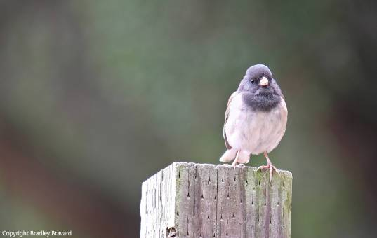Small blue and white bird perched on fence post