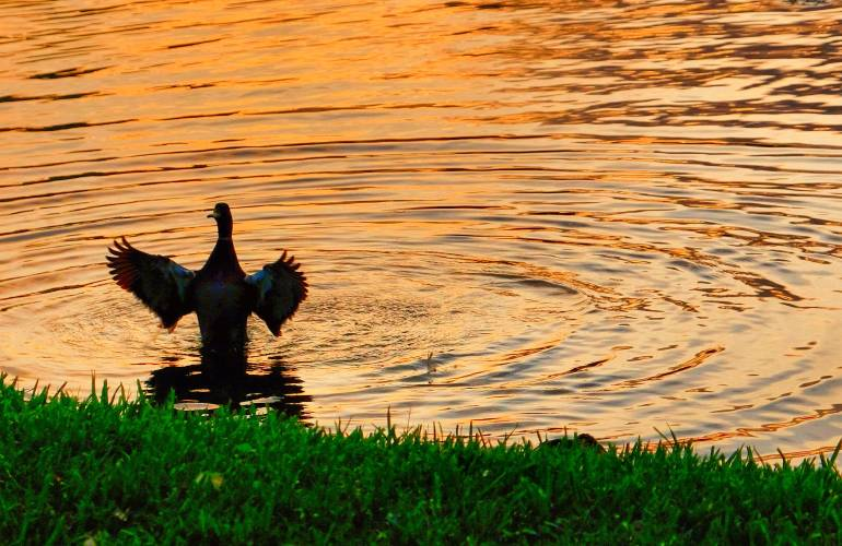 Photo of duck in lake flapping wings in upright position