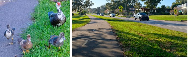 One photo of an adult Muscovy duck with three baby ducks, and one photo of a pedestrian trail alongside a road with several cars.