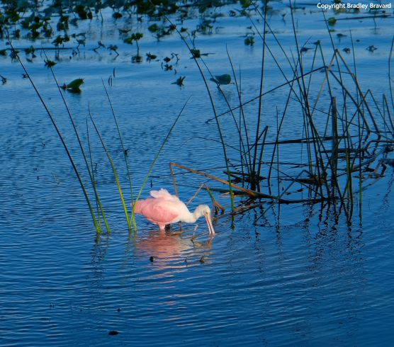 Photo of a roseate spoonbill searching for food in a lake