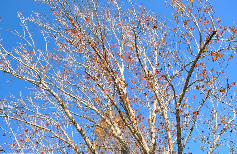 Photo of maple tree branches with few red leaves and blue sky in background