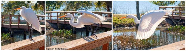 Series of three photos of an egret taking flight